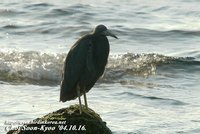 Fig. 1. Pacific Reef Heron : 흑로
