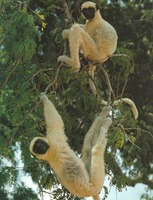 photograph of sifakas