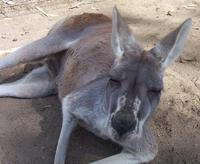 Image of: Macropus rufus (red kangaroo)
