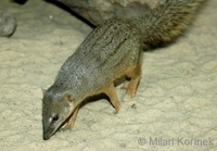 Mungotictis decemlineata - Narrow-striped Mongoose