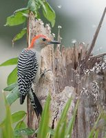Red-bellied Woodpecker (Melanerpes carolinus) photo