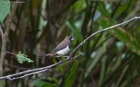 white-rumped-munia