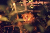 photograph of mouse lemur