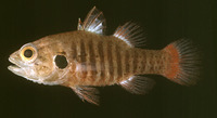 Fowleria marmorata, Marbled cardinalfish: fisheries
