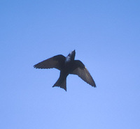 Purple Martin (Progne subis) photo