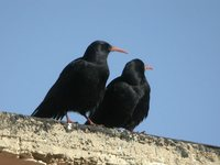 Red-billed Chough - Pyrrhocorax pyrrhocorax