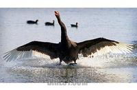 Black Swan landing , Australia ( more Australian wildlife images available ) stock photo