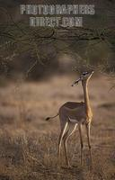 Gerenuk , Litocranius walleri , Samburu National Reserve , Kenya stock photo