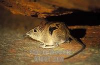 Rock elephant shrew , Elephantulus myurus , Matobo National Park , Zimbabwe stock photo