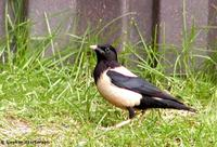 Rose-coloured Starling Sturnus roseus