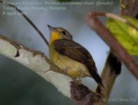 Narcissus/Green-backed Flycatcher (female)