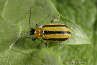 : Acalymma vitatum; Striped Cucumber Beetle