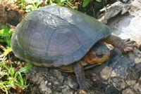 : Kinosternon scorpioides; Red-cheeked Mud Turtle