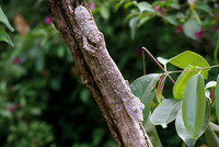 : Uroplatus fimbriatus; Leaf-tailed Lizard