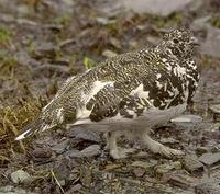 Image of: Lagopus leucura (white-tailed ptarmigan)