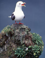 Image of: Rissa brevirostris (red-legged kittiwake)