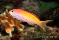Nemanthias carberryi - Threadfin Anthias