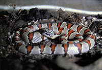 Lampropeltis mexicana - Gray-banded Kingsnake