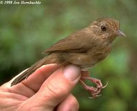 Buff-breasted Babbler - Pellorneum tickelli
