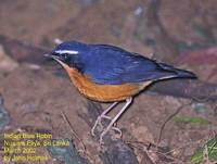 Indian Blue Robin - Luscinia brunnea