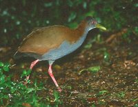 Slaty-breasted Wood-Rail - Aramides saracura