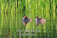 Great Crested Grebes ( Podiceps cristatus ) stock photo