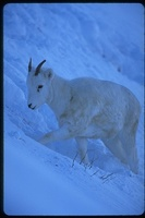 : Ovis dalli; Dall's Sheep