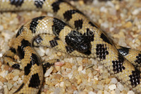 : Micrelaps muelleri; Mueller's Black-headed Snake