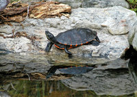 : Pseudemys rubriventris rubriventris; Northern Red-bellied Cooter