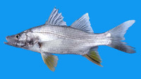 Centropomus robalito, Yellowfin snook: fisheries, gamefish