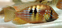 Gymnogeophagus rhabdotus, Stripefin eartheater: aquarium