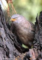 Image of: Turdoides striata (jungle babbler)