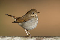 Hermit Thrush (Catharus guttatus) photo