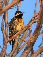 Golden-breasted Woodpecker (Nick Athanas)