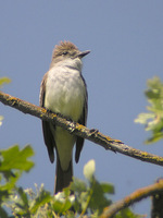 : Myiarchus cinerascens; Ash-throated Flycatcher