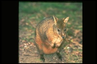 : Thylogale billardierii; Red-bellied Pademelon