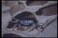 : Hemgrapsus nudus; Purple Shore Crab