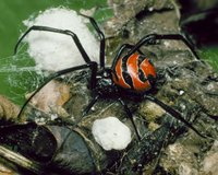 : Latrodectus curacaviensis; South American Widow Spider