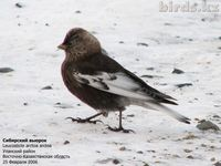 Asian Rosy Finch [Leucosticte arctoa]