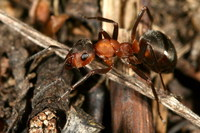 Formica polyctena - European Red Wood Ant
