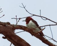 Image of: Melanerpes erythrocephalus (red-headed woodpecker)