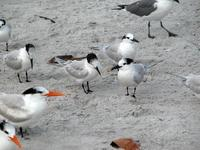 Image of: Sterna sandvicensis (Sandwich tern), Sterna maxima (royal tern)