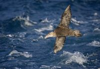 Southern (Antarctic) Giant Petrel (Macronectes giganteus) photo