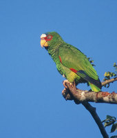 White-fronted Parrot (Amazona albifrons) photo