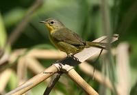 Masked Yellowthroat: female