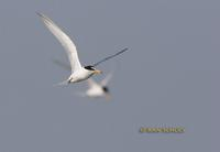 Little tern C20D 03467.jpg