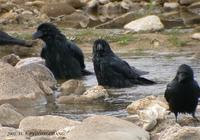 Carrion Crow Corvus corone 까마귀