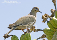 : Zenaida asiatica; White-winged Dove