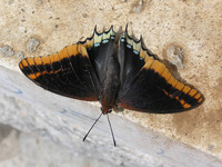 Charaxes jasius - Two-tailed Pasha