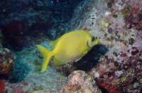 Siganus corallinus, Blue-spotted spinefoot: fisheries, aquarium